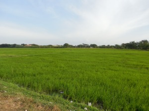 Rice patty!  The field is GREEN and ready to harvest!!